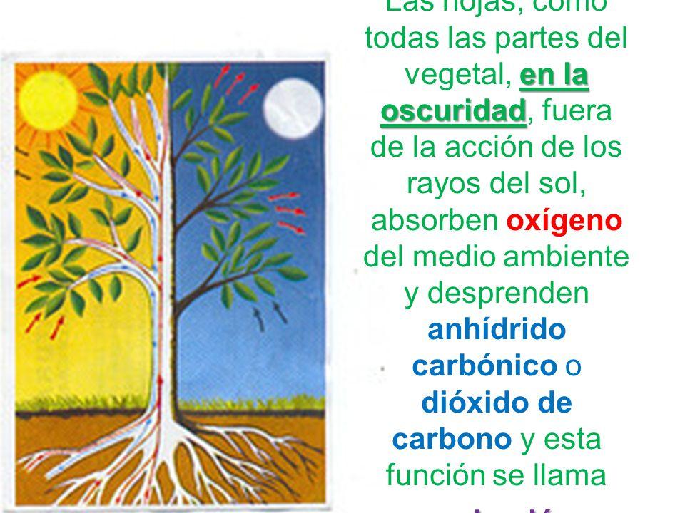 Las hojas, como todas las partes del vegetal, en la oscuridad, fuera de la acción de los rayos del sol, absorben oxígeno del medio ambiente y desprenden anhídrido carbónico o dióxido de carbono y esta función se llama respiración.