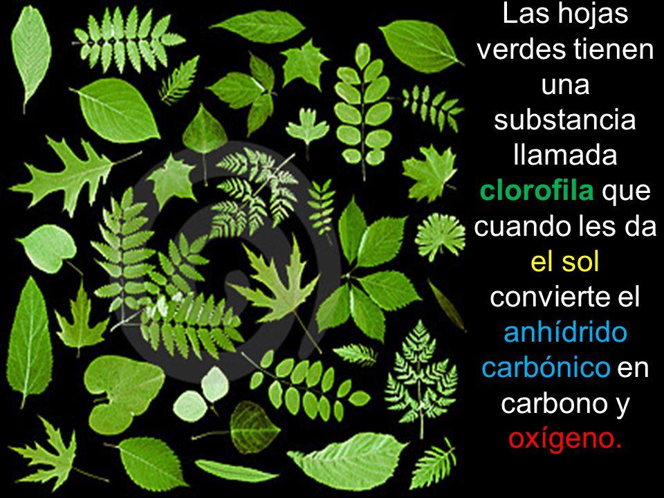 Las hojas verdes tienen una substancia llamada clorofila que cuando les da el sol convierte el anhídrido carbónico en carbono y oxígeno.