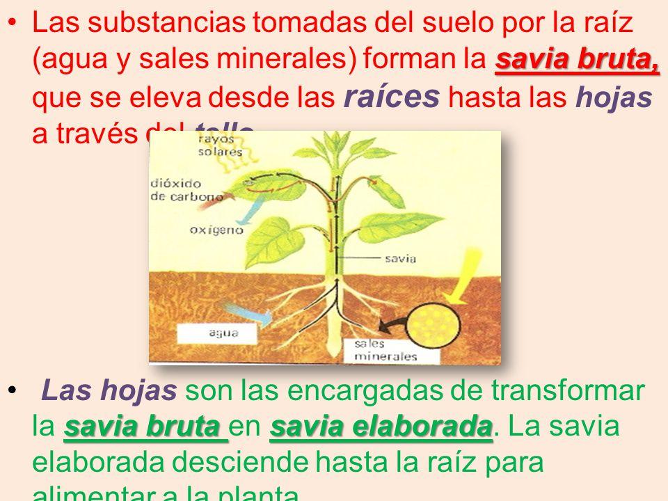 Las substancias tomadas del suelo por la raíz (agua y sales minerales) forman la savia bruta, que se eleva desde las raíces hasta las hojas a través del tallo.