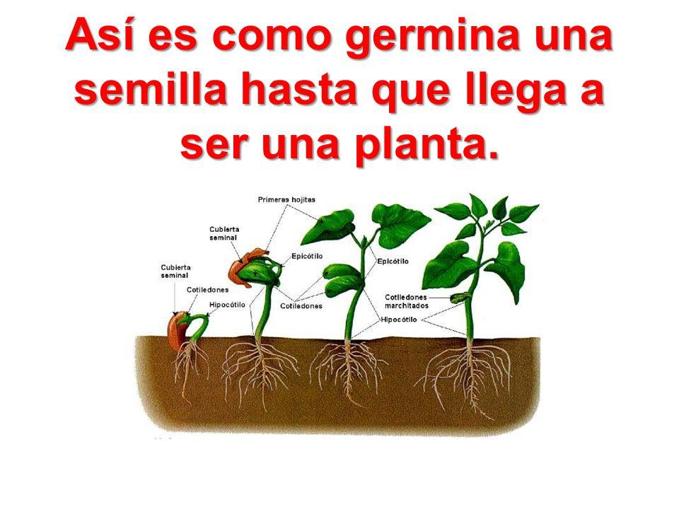 Así es como germina una semilla hasta que llega a ser una planta.