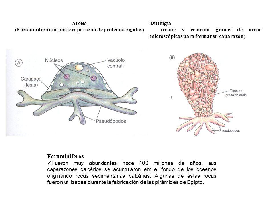 (Foraminifero que posee caparazón de proteinas rígidas)