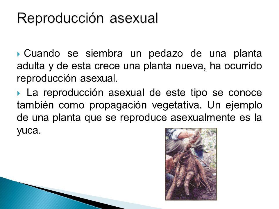 Reproducción asexual Cuando se siembra un pedazo de una planta adulta y de esta crece una planta nueva, ha ocurrido reproducción asexual.