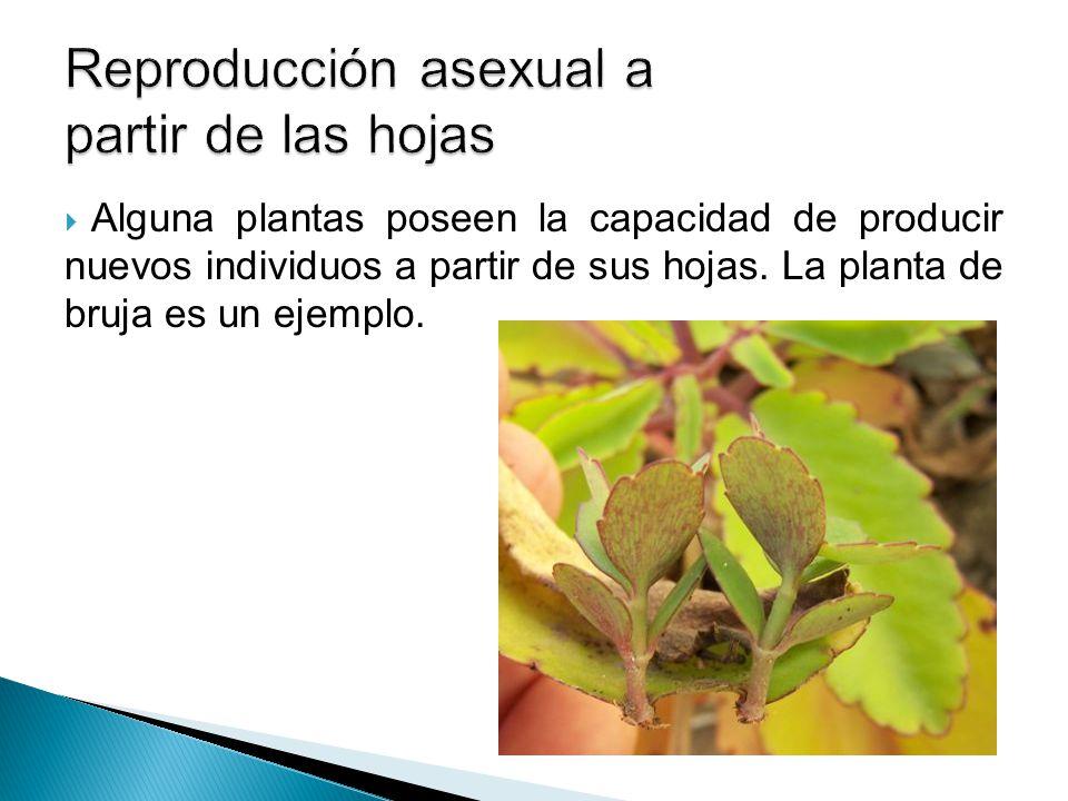 Reproducción asexual a partir de las hojas