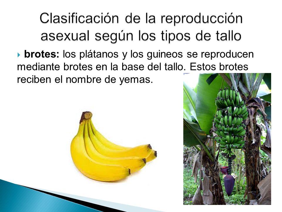Clasificación de la reproducción asexual según los tipos de tallo