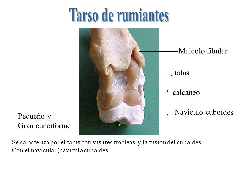Tarso de rumiantes Maleolo fibular talus calcaneo Naviculo cuboides