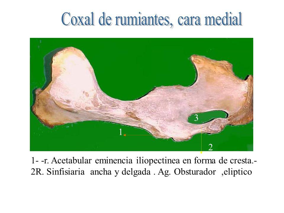 Coxal de rumiantes, cara medial