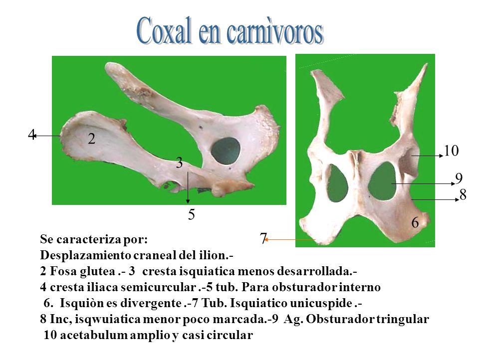 Coxal en carnìvoros 4 2 10 3 9 8 5 6 7 Se caracteriza por: