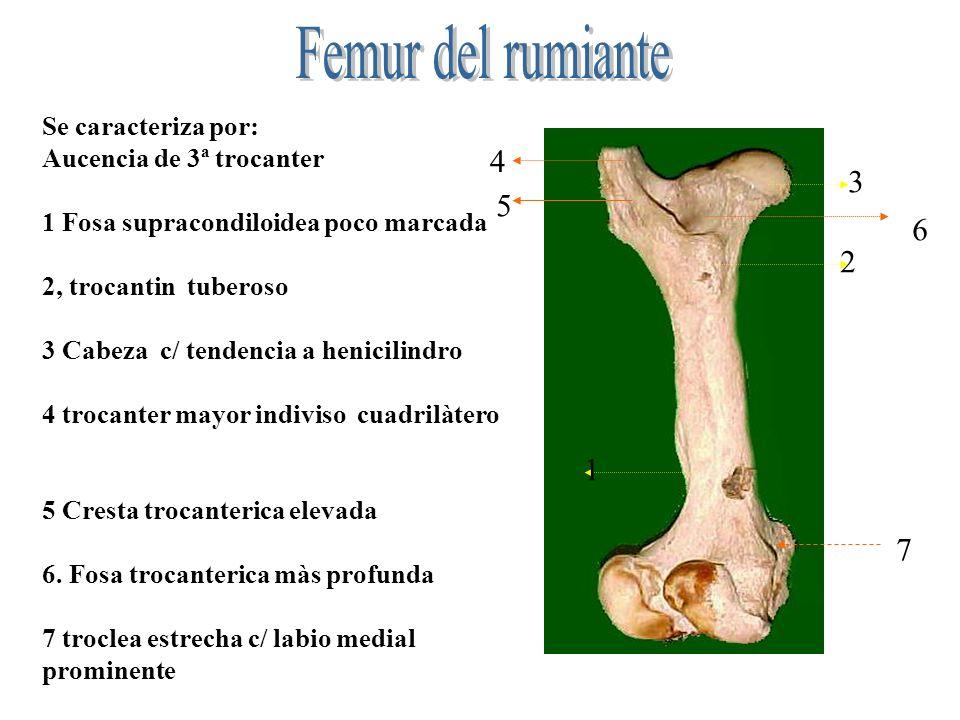 Femur del rumiante 4 3 5 6 2 1 7 Se caracteriza por: