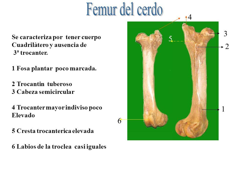 Femur del cerdo 4 3 5 2 1 6 Se caracteriza por tener cuerpo