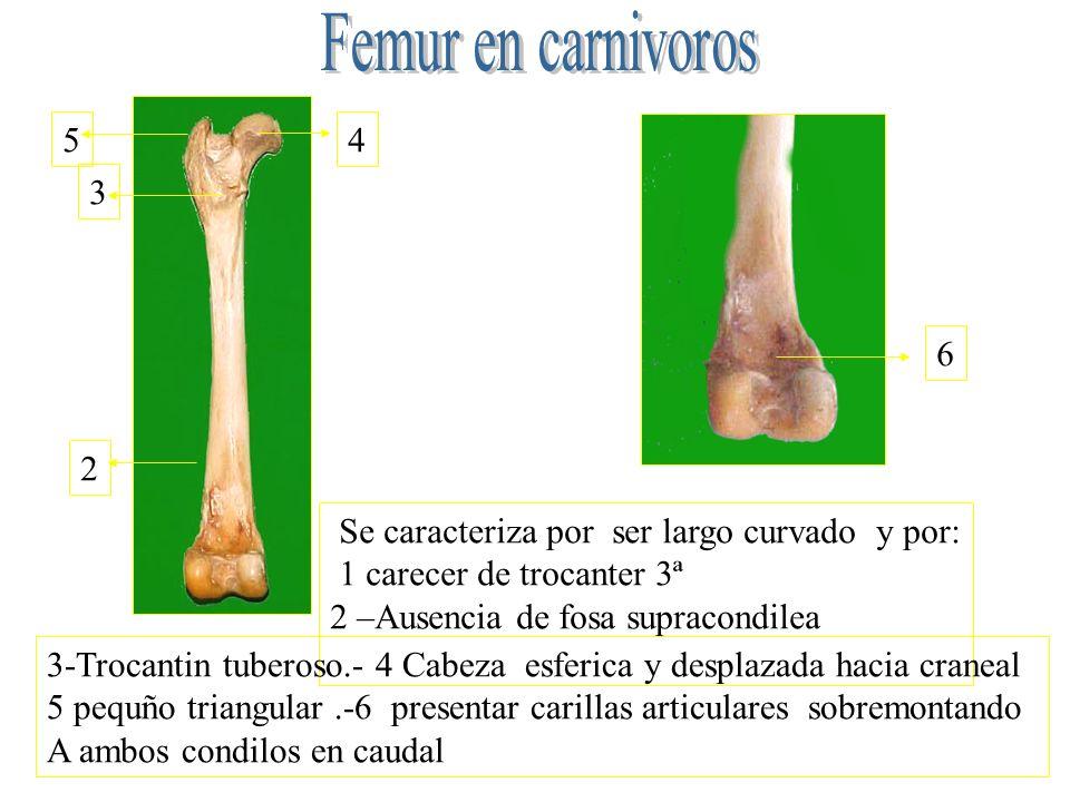 Femur en carnivoros 5. 4. 3. 6. 2. Se caracteriza por ser largo curvado y por: 1 carecer de trocanter 3ª.