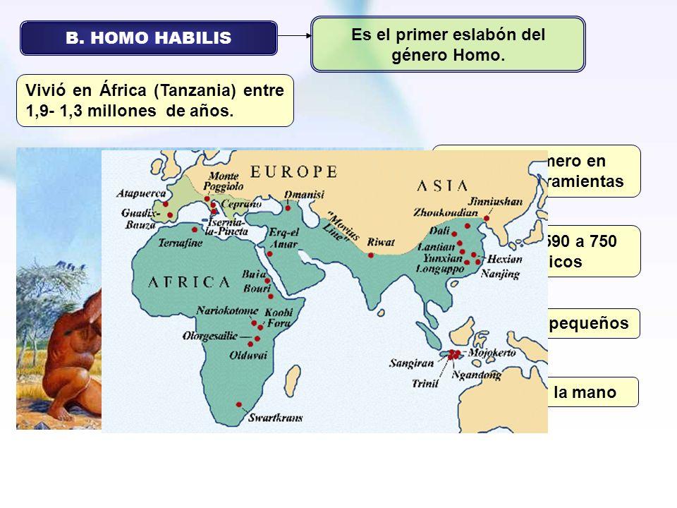 Es el primer eslabón del género Homo. B. HOMO HABILIS
