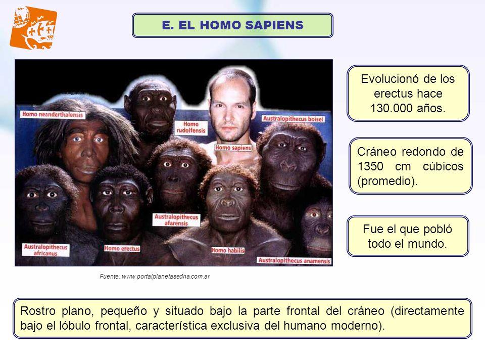 Evolucionó de los erectus hace 130.000 años.