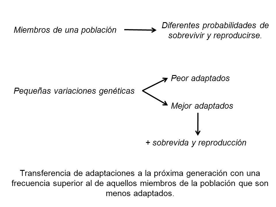 Diferentes probabilidades de sobrevivir y reproducirse.