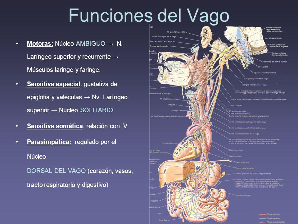 Funciones del Vago Motoras: Núcleo AMBIGUO → N. Laríngeo superior y recurrente → Músculos laringe y faringe.