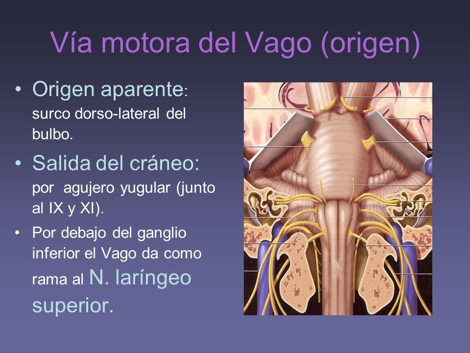 Vía motora del Vago (origen)