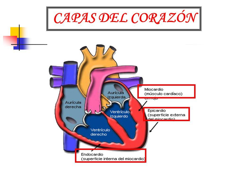 CAPAS DEL CORAZÓN