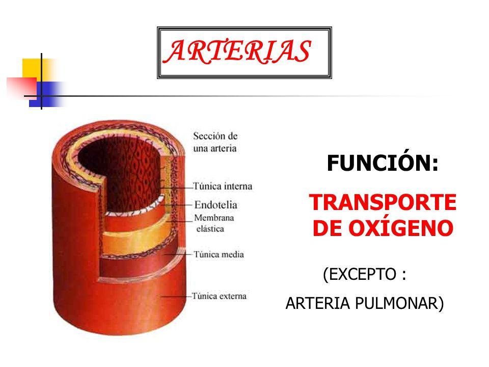 ARTERIAS FUNCIÓN: TRANSPORTE DE OXÍGENO (EXCEPTO : ARTERIA PULMONAR)