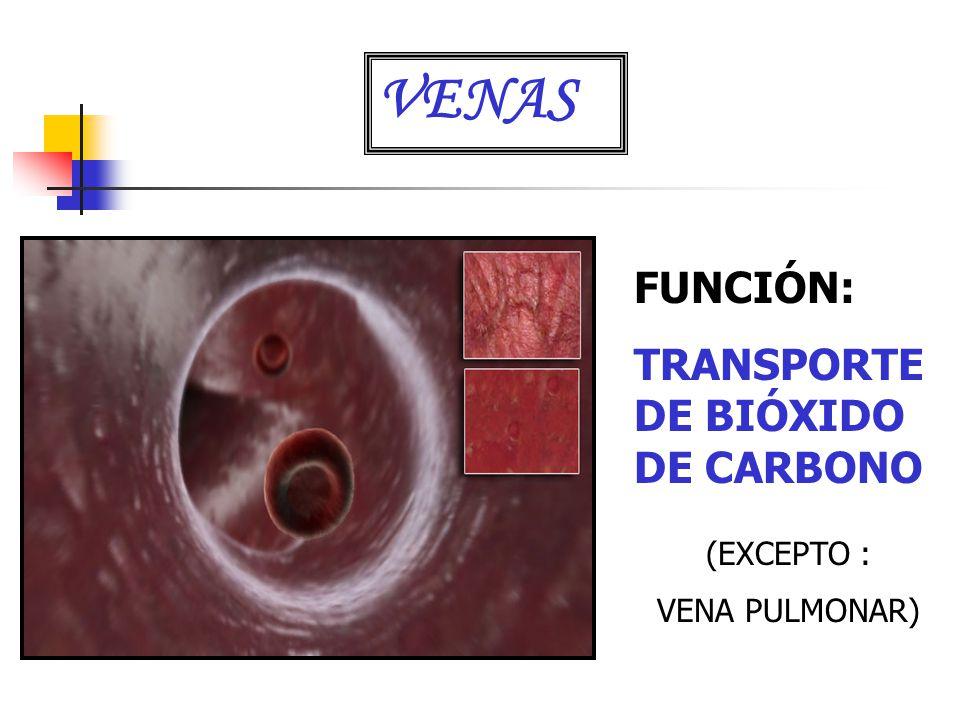 VENAS FUNCIÓN: TRANSPORTE DE BIÓXIDO DE CARBONO (EXCEPTO :