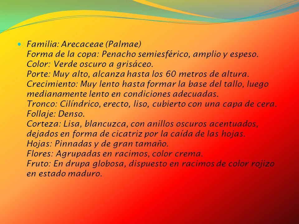 Familia: Arecaceae (Palmae) Forma de la copa: Penacho semiesférico, amplio y espeso.