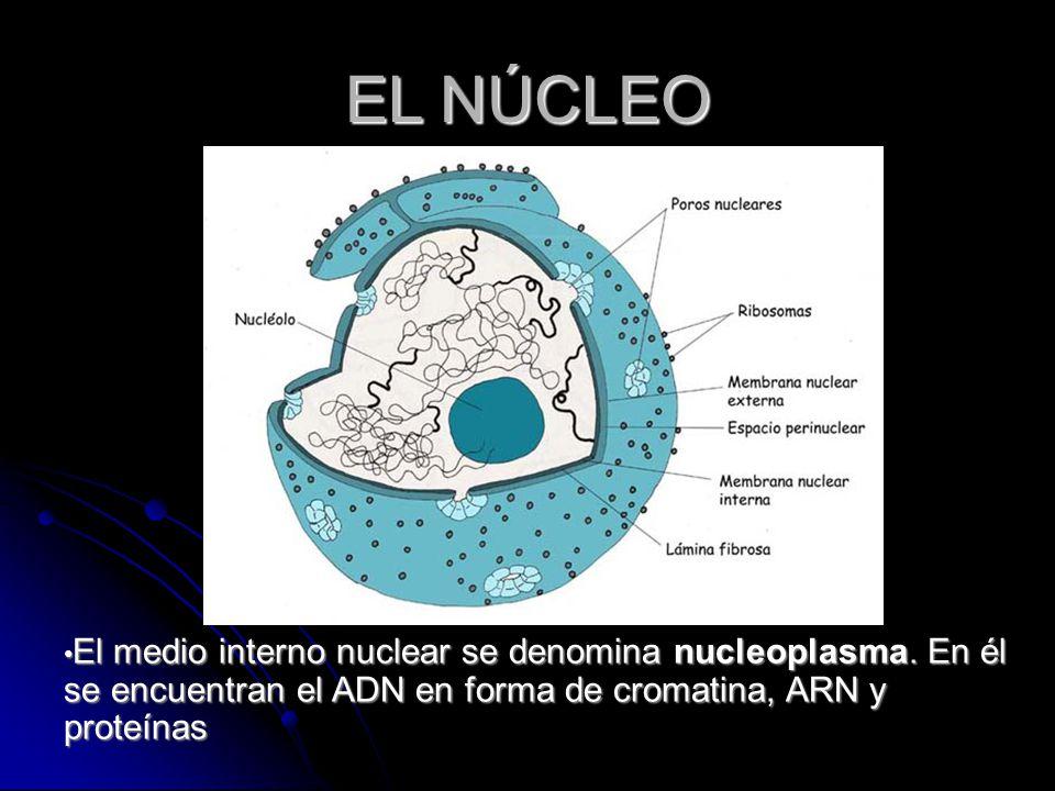 EL NÚCLEO El medio interno nuclear se denomina nucleoplasma.