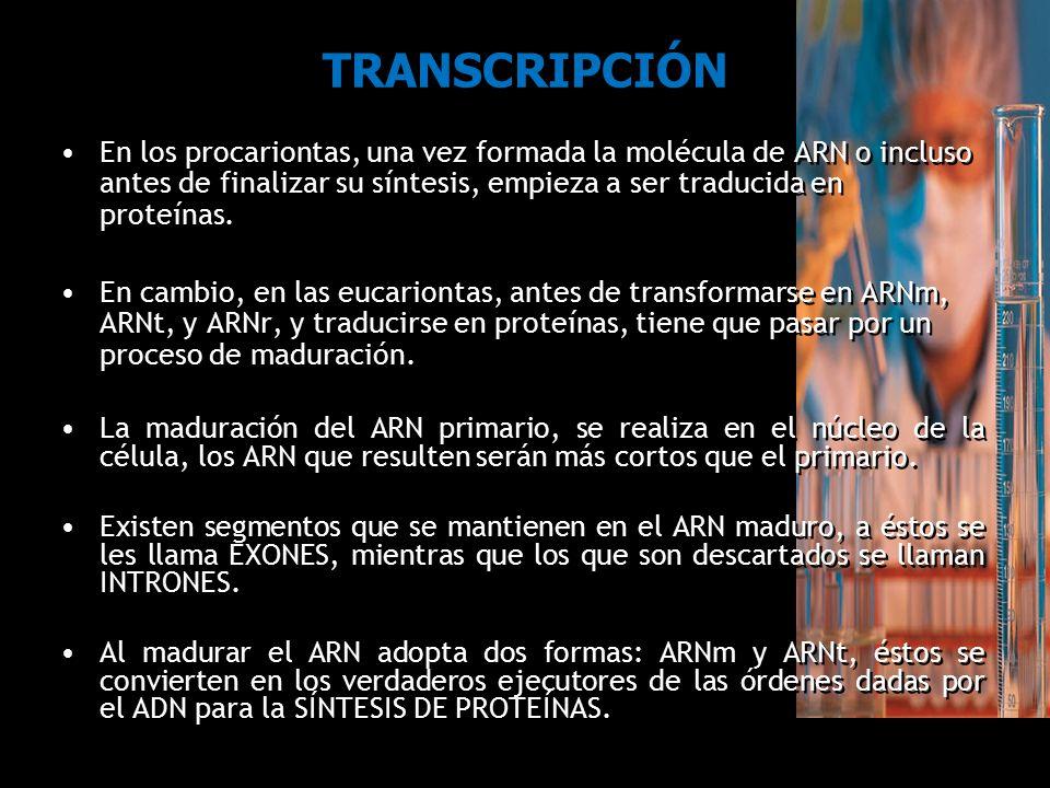TRANSCRIPCIÓN En los procariontas, una vez formada la molécula de ARN o incluso antes de finalizar su síntesis, empieza a ser traducida en proteínas.