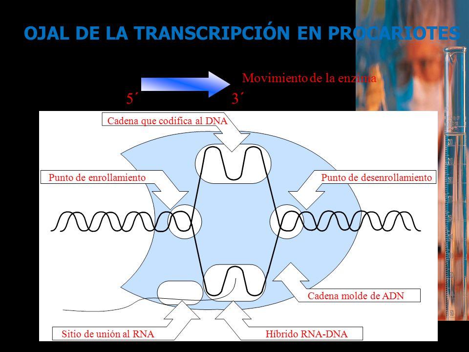 OJAL DE LA TRANSCRIPCIÓN EN PROCARIOTES