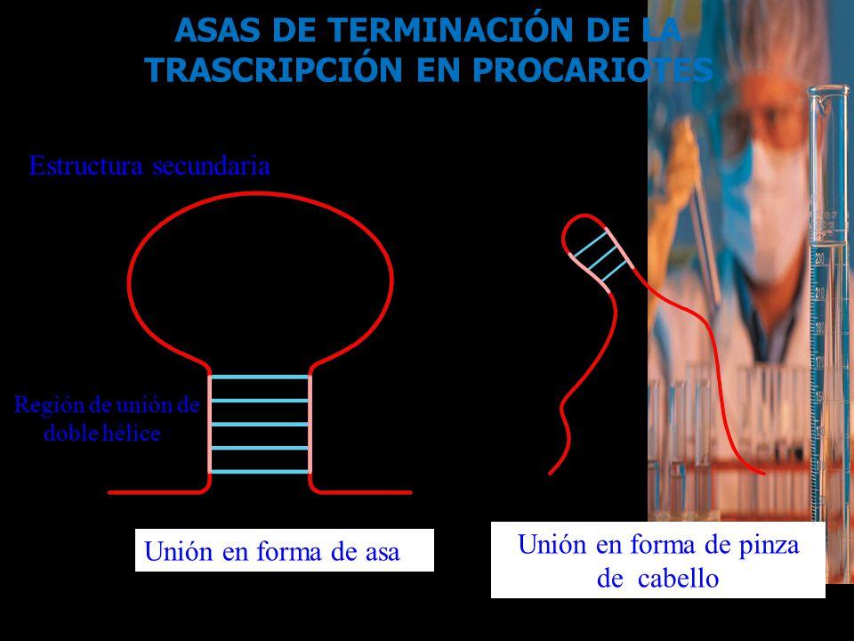 ASAS DE TERMINACIÓN DE LA TRASCRIPCIÓN EN PROCARIOTES
