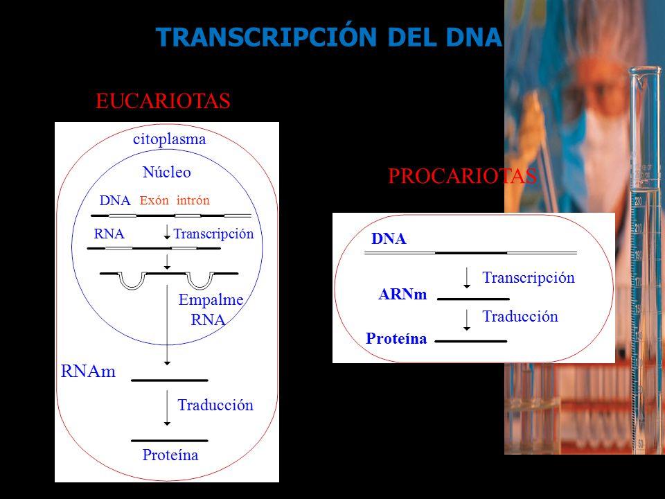 TRANSCRIPCIÓN DEL DNA EUCARIOTAS PROCARIOTAS RNAm citoplasma Núcleo