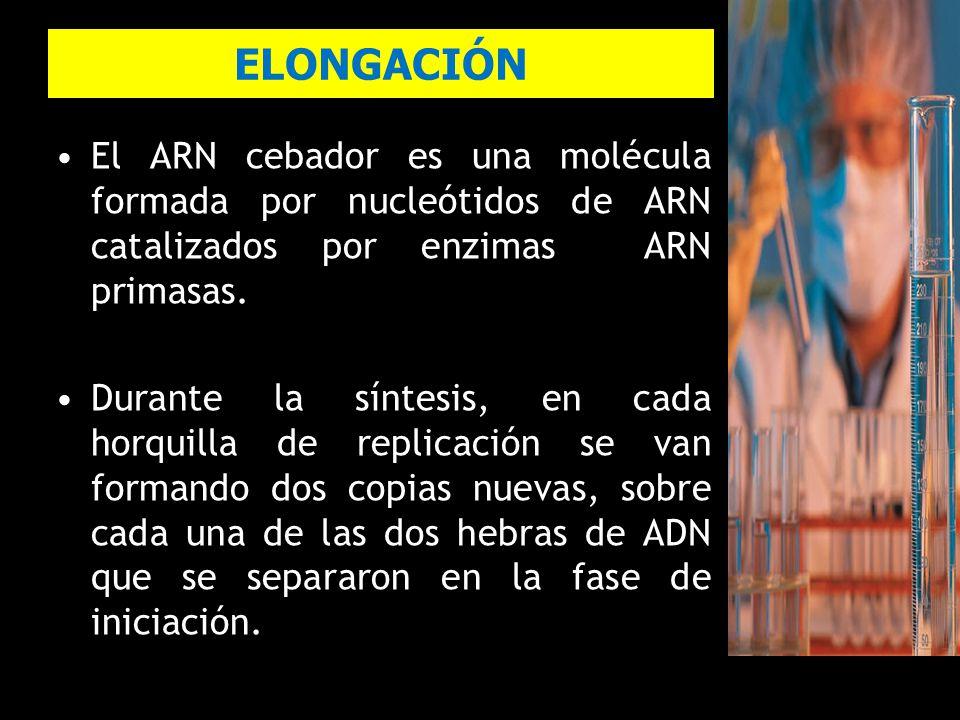 ELONGACIÓN El ARN cebador es una molécula formada por nucleótidos de ARN catalizados por enzimas ARN primasas.