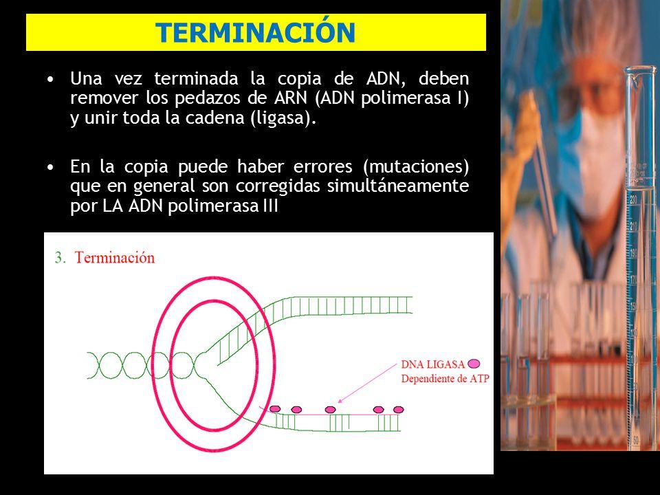 TERMINACIÓN Una vez terminada la copia de ADN, deben remover los pedazos de ARN (ADN polimerasa I) y unir toda la cadena (ligasa).
