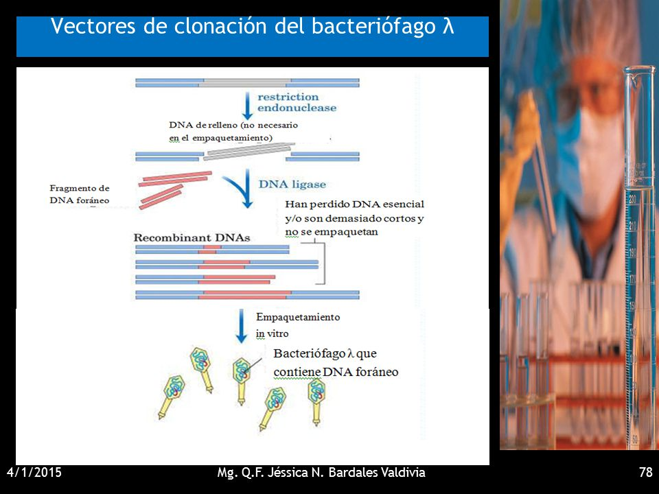 Vectores de clonación del bacteriófago λ