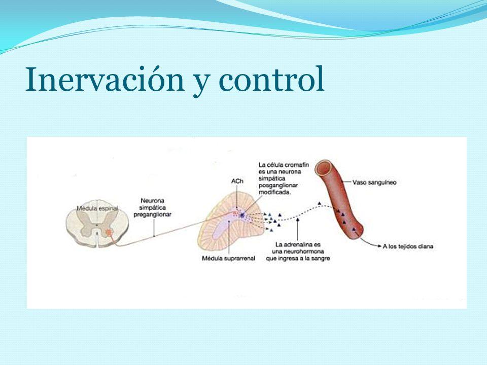 Inervación y control