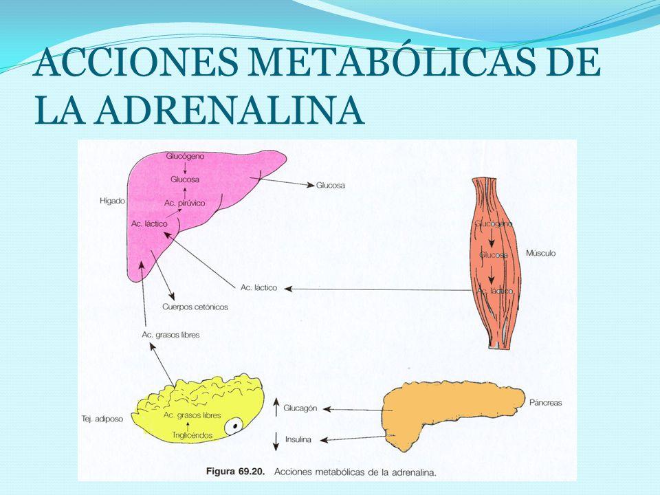 ACCIONES METABÓLICAS DE LA ADRENALINA
