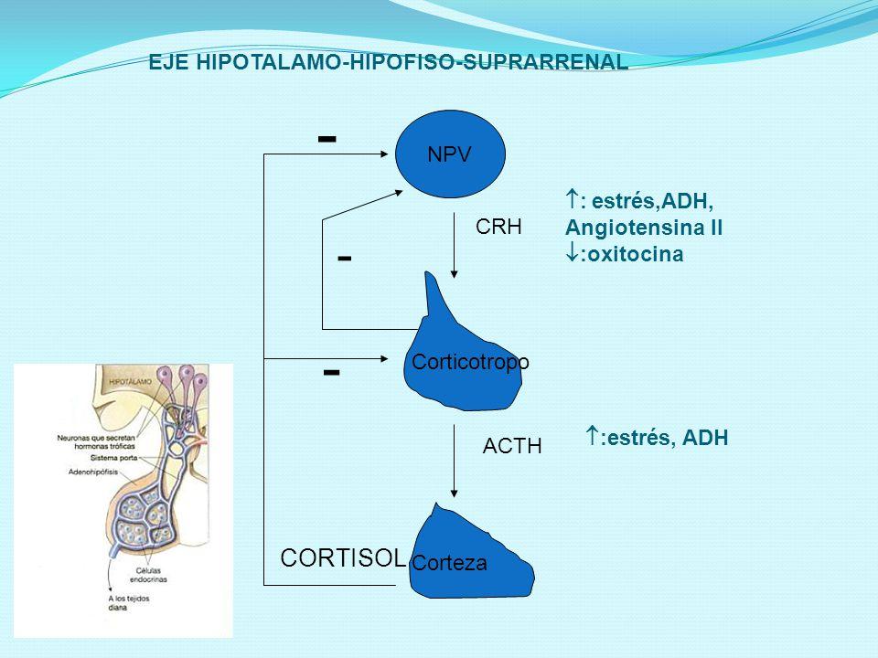 - - - CORTISOL EJE HIPOTALAMO-HIPOFISO-SUPRARRENAL NPV : estrés,ADH,