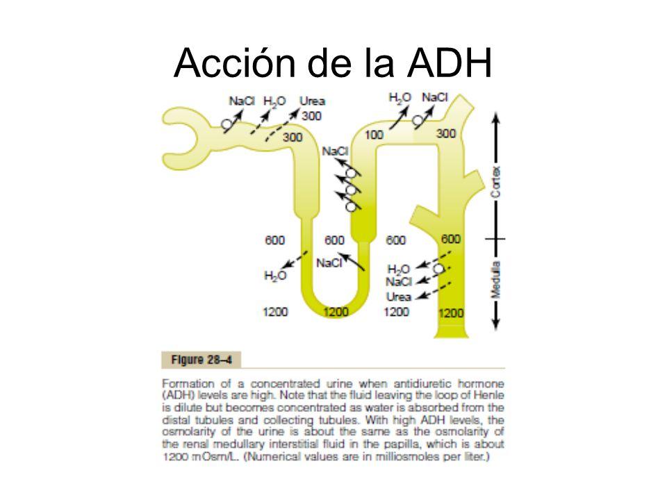 Acción de la ADH