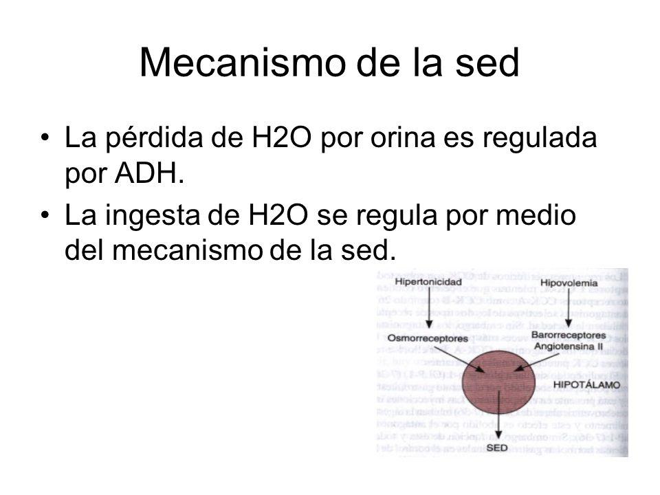 Mecanismo de la sed La pérdida de H2O por orina es regulada por ADH.