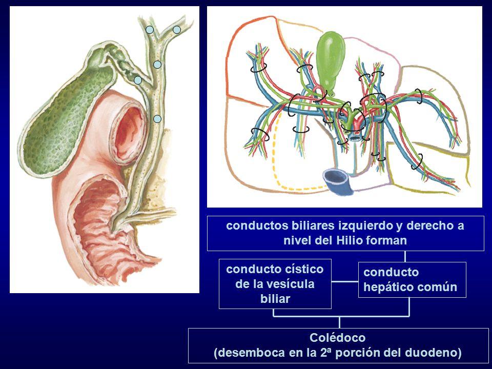 conductos biliares izquierdo y derecho a nivel del Hilio forman