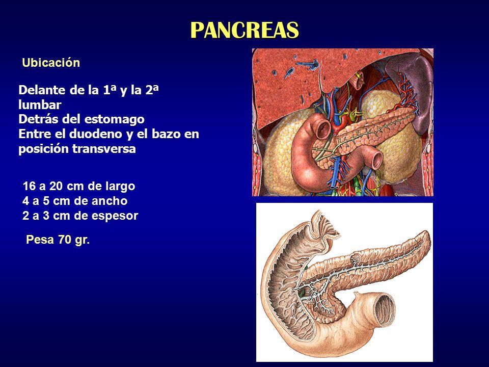 PANCREAS Ubicación Delante de la 1ª y la 2ª lumbar Detrás del estomago