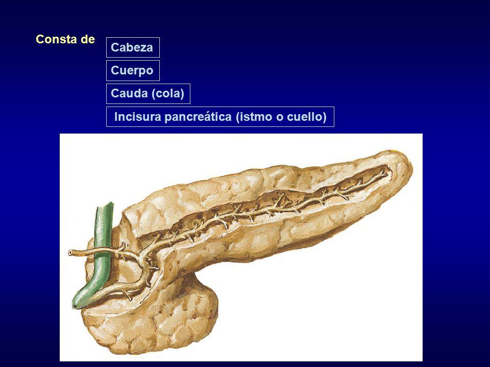 Consta de Cabeza Cuerpo Cauda (cola) Incisura pancreática (istmo o cuello)