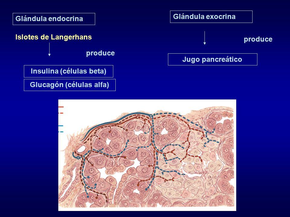 Insulina (células beta) Glucagón (células alfa)