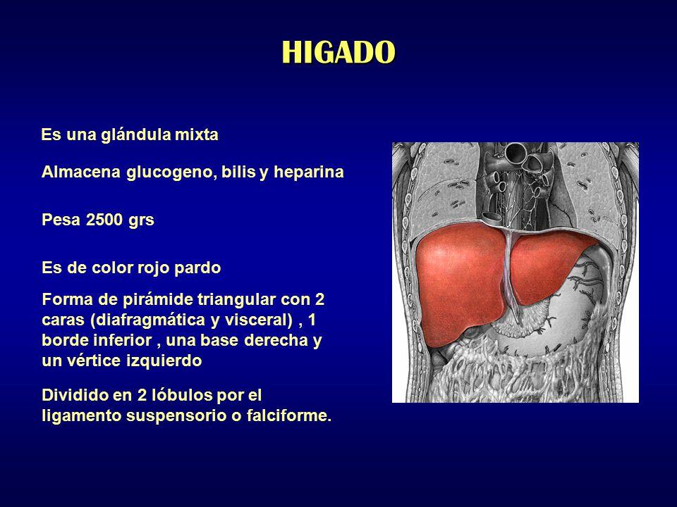 HIGADO Es una glándula mixta Almacena glucogeno, bilis y heparina
