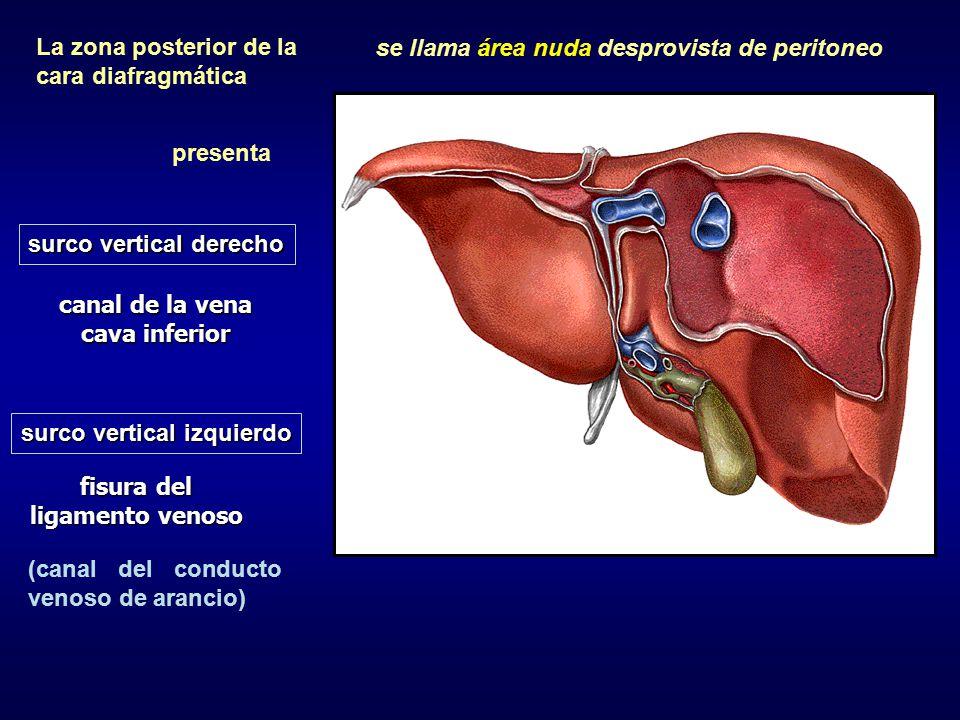 canal de la vena cava inferior fisura del ligamento venoso