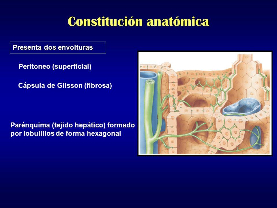 Constitución anatómica
