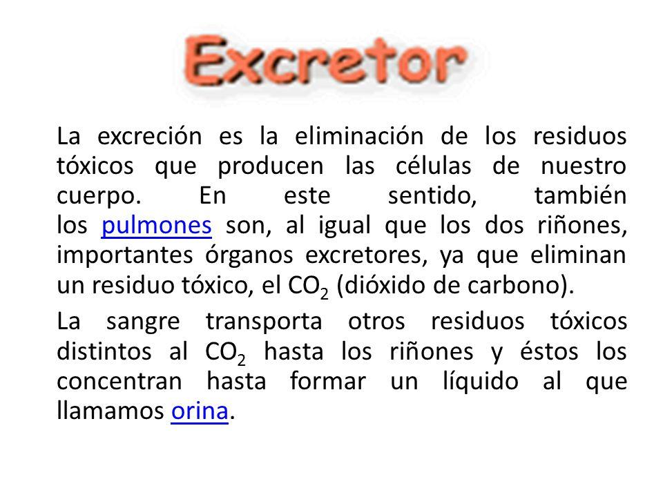 La excreción es la eliminación de los residuos tóxicos que producen las células de nuestro cuerpo. En este sentido, también los pulmones son, al igual que los dos riñones, importantes órganos excretores, ya que eliminan un residuo tóxico, el CO2 (dióxido de carbono).