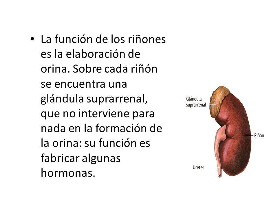 La función de los riñones es la elaboración de orina