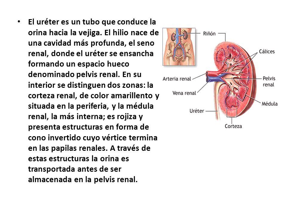 El uréter es un tubo que conduce la orina hacia la vejiga