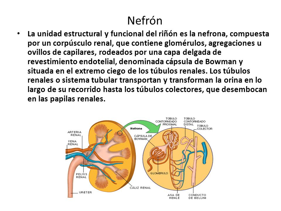 Nefrón