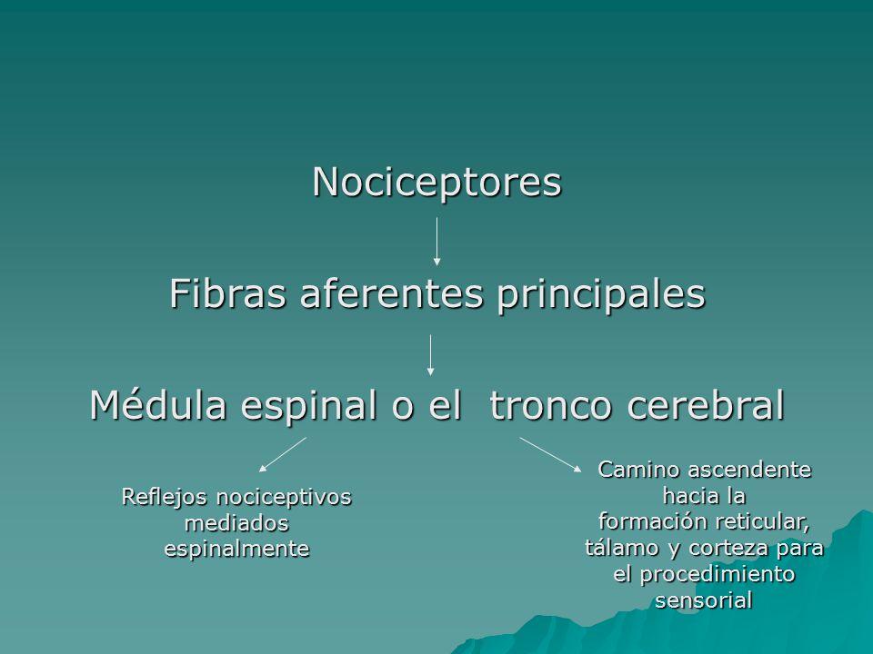 Fibras aferentes principales Médula espinal o el tronco cerebral