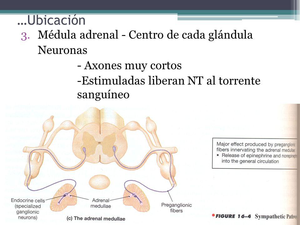…Ubicación Médula adrenal - Centro de cada glándula Neuronas