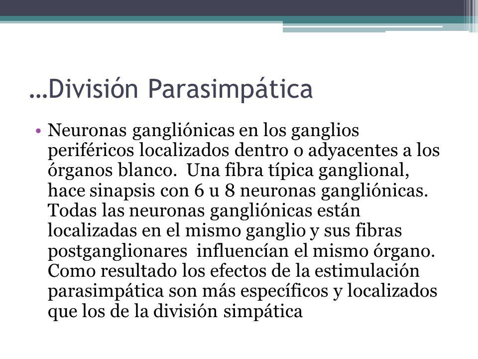…División Parasimpática